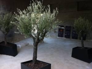 location de gros oliviers et plantes de grandes tailles Marseille Avignon